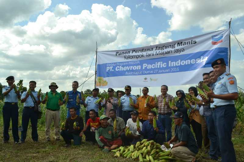 Kelompok Tani Mapan Jaya, Panen Jagung Perdana Bantuan Chevron