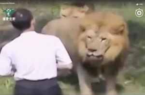 Takjub, Video Seorang Pria Mampu Hindari Kematian dari Serangan 2 Singa Dewasa