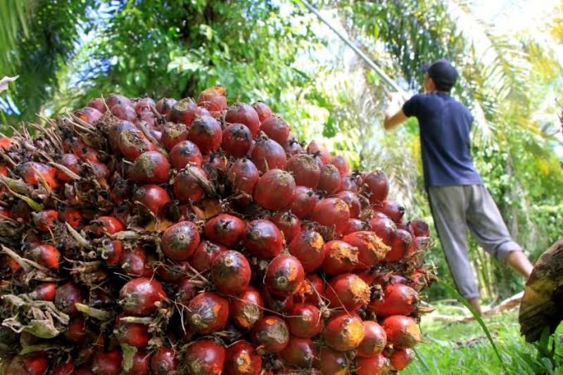 Berikut Daftar Harga Sawit Riau, Turun Terus