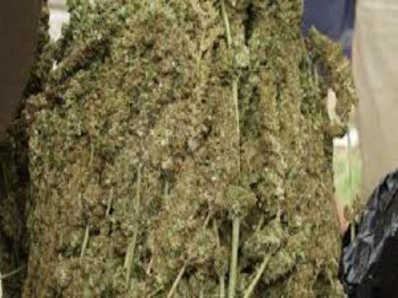 Polisi Tangkap Pengedar Ganja Kering Barbutnya 11 Paket