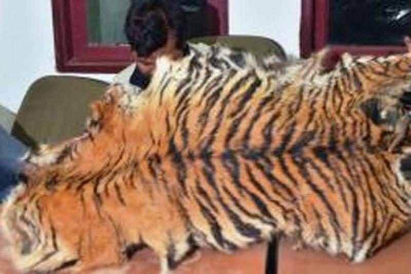 Seorang Perempuan Ditangkap, Ikut Jual Kulit Harimau
